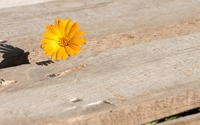 Pot marigold peeking through the wooden pier wallpaper 3840x2160 jpg