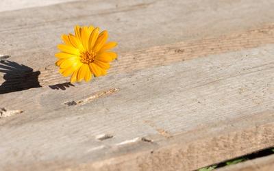 Pot marigold peeking through the wooden pier wallpaper
