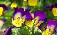 Pretty pansies wallpaper 1920x1200 jpg