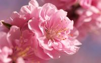 Prunus mume blossoms wallpaper 2560x1600 jpg