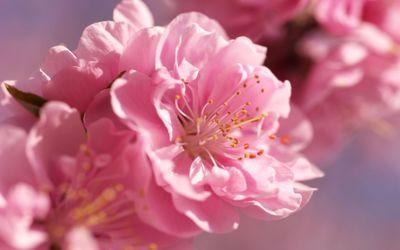 Prunus mume blossoms wallpaper