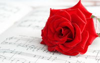 Pure red rose wallpaper 2560x1600 jpg