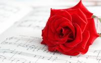 Pure red rose wallpaper 2560x1600 jpg