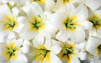 Pure white lilies wallpaper 1920x1200 jpg