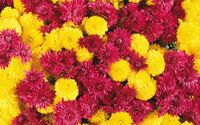 Purple and yellow Chrysanthemums wallpaper 1920x1200 jpg