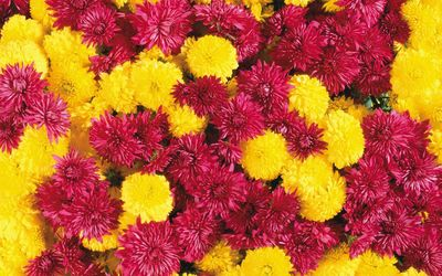 Purple and yellow Chrysanthemums wallpaper