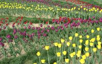 Purple and yellow tulips on the field wallpaper 1920x1200 jpg