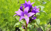 Purple bellflower wallpaper 2880x1800 jpg