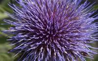 Purple blossom [2] wallpaper 2560x1600 jpg