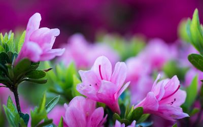 Purple blossoms wallpaper
