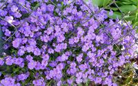 Purple blossoms [7] wallpaper 1920x1080 jpg