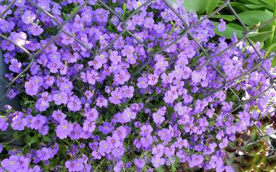Purple blossoms [7] wallpaper