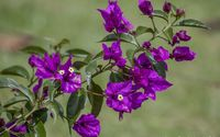 Purple bougainvillea wallpaper 1920x1200 jpg