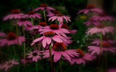 Purple coneflowers wallpaper