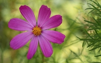 Purple cosmos [2] wallpaper 1920x1200 jpg