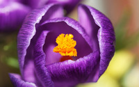 Purple crocus [4] wallpaper 1920x1200 jpg