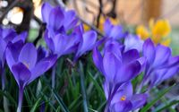 Purple crocus [5] wallpaper 2560x1600 jpg