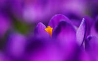 Purple crocus [6] wallpaper 2560x1600 jpg
