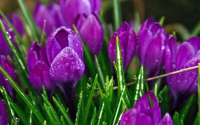 Purple Crocus wallpaper