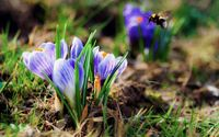 Purple crocuses wallpaper 1920x1200 jpg