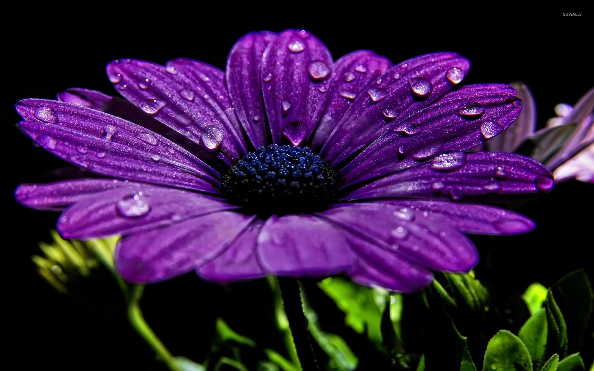 Purple Daisy Wallpaper Flower Wallpapers 17176