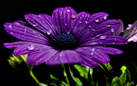 Purple daisy wallpaper 1920x1200 jpg