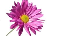 Purple daisy close-up wallpaper 1920x1080 jpg