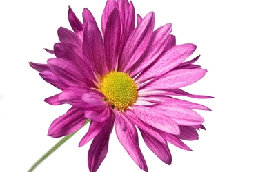 Purple daisy close-up wallpaper