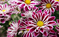 Purple flowers with white border wallpaper 1920x1080 jpg