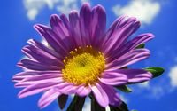 Purple gerbera in the sky wallpaper 1920x1200 jpg