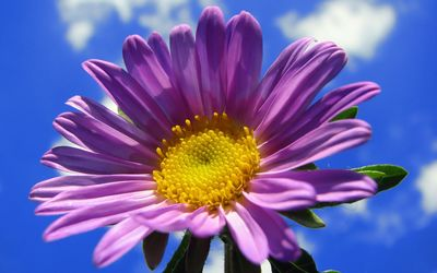 Purple gerbera in the sky wallpaper
