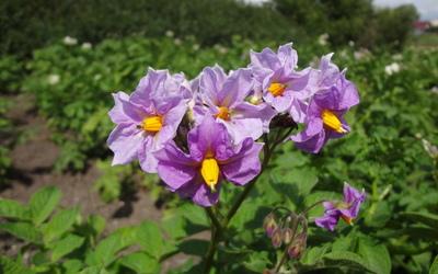Purple Gloxinia wallpaper