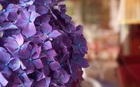 Purple hydrangea wallpaper 3840x2160 jpg