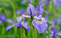 Purple iris wallpaper 1920x1200 jpg