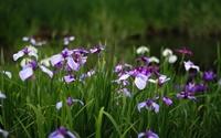 Purple irises wallpaper 1920x1200 jpg