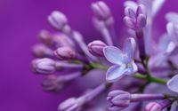 Purple lilac close-up wallpaper 1920x1200 jpg