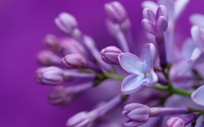 Purple lilac close-up wallpaper