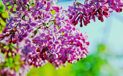 Purple lilacs in the spring wallpaper