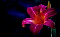 Purple lily wallpaper 2560x1600 jpg