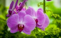 Purple orchid [3] wallpaper 1920x1200 jpg