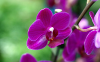 Purple Orchid wallpaper 1920x1200 jpg