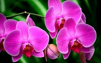 Purple orchids [3] wallpaper 1920x1200 jpg