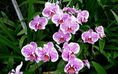 Purple orchids [4] wallpaper