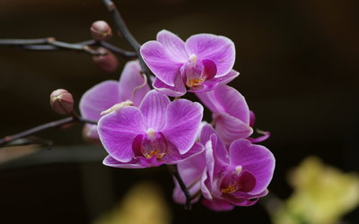 Purple orchids wallpaper