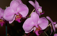 Purple orchids [2] wallpaper 1920x1200 jpg