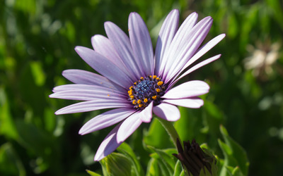 Purple Osteospermum wallpaper