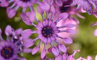 Purple Osteospermum [2] wallpaper 1920x1200 jpg