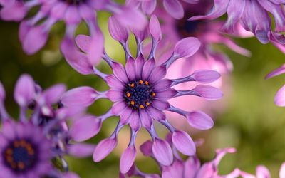 Purple Osteospermum [2] wallpaper