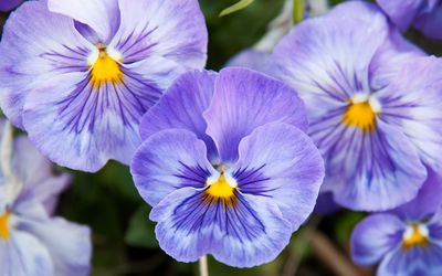 Purple pansies wallpaper