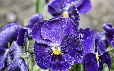 Purple pansies with water drops wallpaper